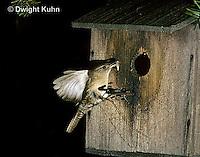 WR02-001z  House Wren - at birdhouse - Troglodytes aedon