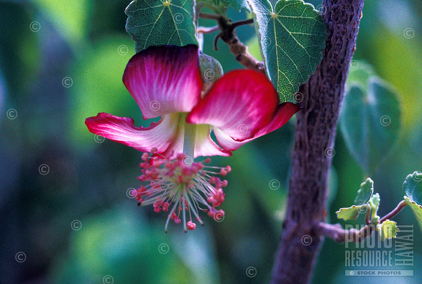 The endangered naitve kooloaula abutilon menziesii flower