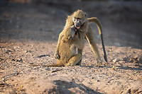 """Young male Chacma Baboons wrestle. The smaller one on the left seems to be employing the """"keep your enemy close"""" strategy, which involves grabbing his opponent and holding him close, in an effort to negate the other Baboon's longer reach. Troops of Chacma Baboons have a dominance structure: for females this status is inherited; for males it can change. As these youngsters mature, their circle of friends will change from other males to adult females."""