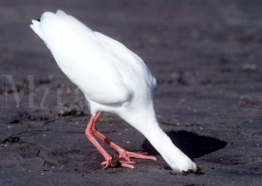White ibis probes deeply into muddy sand, Florida