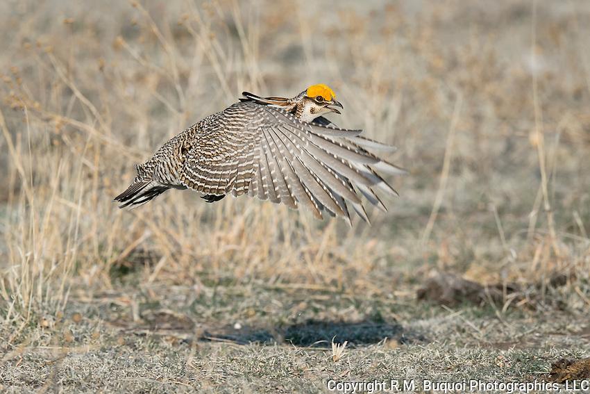 Lesser Prairie-Chicken in flight