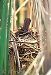 Red-winged Blackbird (Agelaius phoeniceus) female incubating on nest hidden among cattails, Ithaca, New York, USA<br /> B163-288
