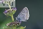 Northern Blue (Lycaeides idas) male, California, USA