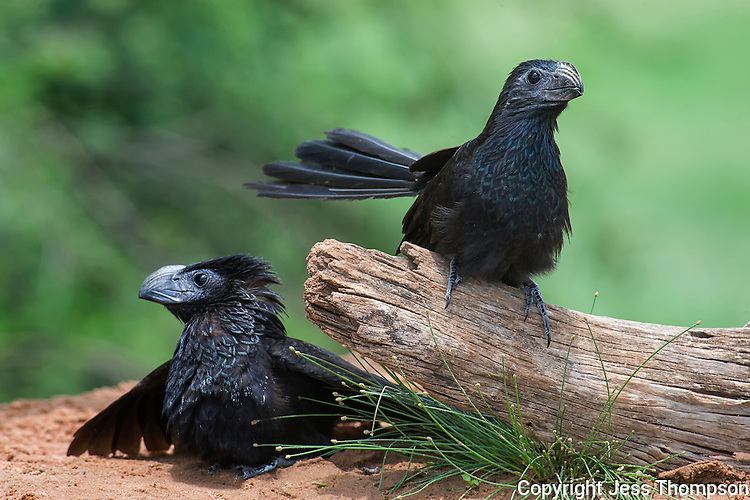 Groove-billed Ani, Laguna Seca Ranch, Edinburg, TX