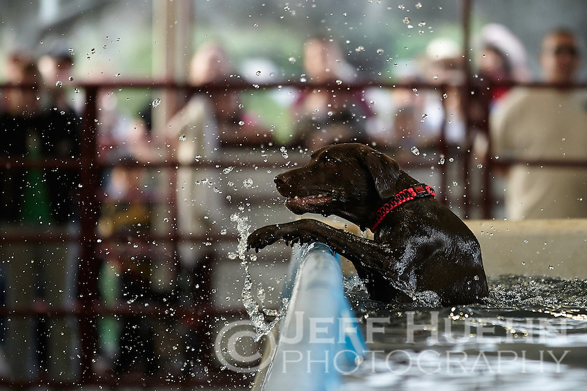 SAN ANTONIO, TX - FEBRUARY 23, 2013: A Dock Dog looks for a way out of the pool at the 2013 San Antonio Stock Show & Rodeo at the AT&T Center. (Photo by Jeff Huehn)