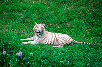 Namaste, a 4-year-old juvenile male white Bengal tiger, Indian tiger, Panthera tigris tigris ( endangered ), found in India and Southeast Asia, at the Pana'ewa Rainforest Zoo, Hilo, Big Island, Hawaii (c)