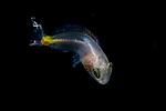 Fish ID Plz 9-3-18-9324