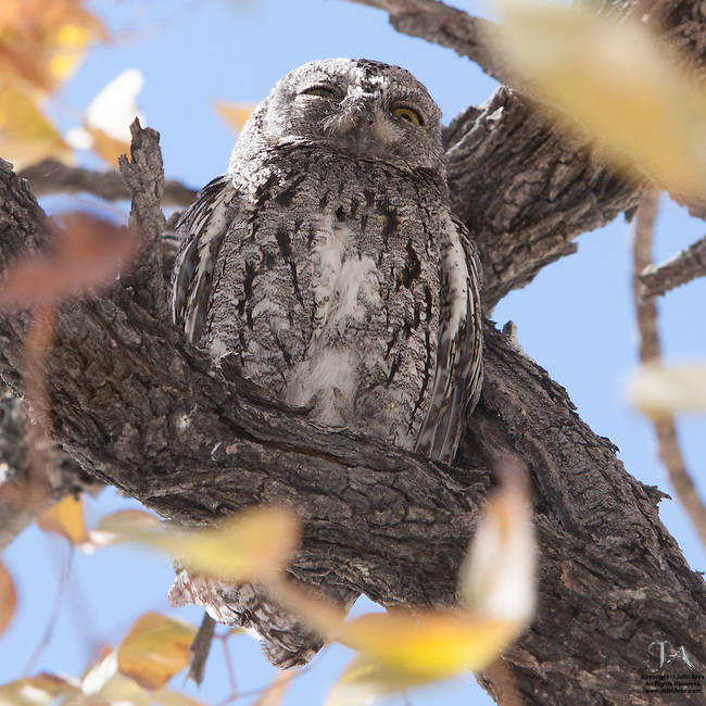 African scops owl in a tree, roosting during the day in Etosha National Park, Namibia