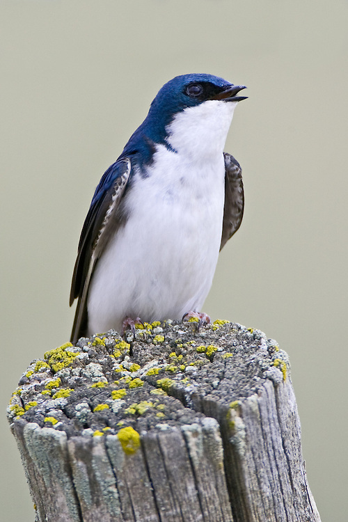 Tree Swallow perched on a mossy fence post