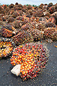 A close-up of an oil palm fresh fruit bunch (FFB) in front of a large pile of bunches awaiting inspection and processing at the mill. The Sindora Palm Oil Mill, owned by Kulim, is green certified by the Roundtable on Sustainable Palm Oil (RSPO) for its environmental, economic, and socially sustainable practices. Johor Bahru, Malaysia