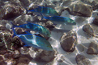 Four blue-fin trevally swim together, Maui, Hawaii.