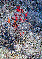 A small shoot of a Blueberry shrub is shown in fall color amongst lichens on the former forest floor at Kingston Plains in Alger County in Michigan's Upper Peninsula