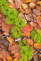 """Umbrella"" Moss winds through leaves on the forest floor at Whitefish Dunes State Park in Door County, Wisconsin."
