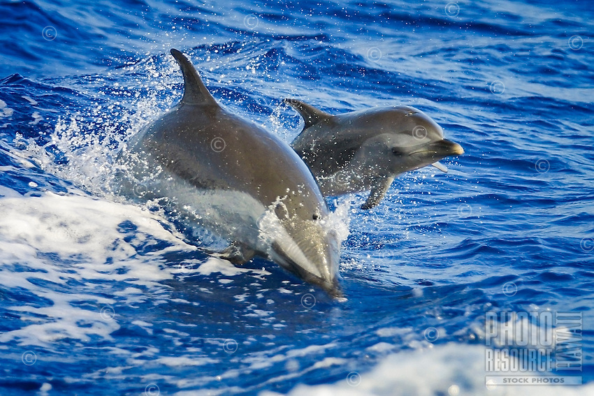 Mother and calf pantropical spotted dolphins (Stenella attenuata) jumping out of a boat wake or wake-riding, Kona Coast, Big Island.