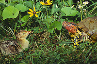 Turkey poult meets box turtle in garden surounded by wildflowers, rudibeckiea, violets, and others, Midwest USA