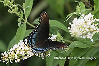 03418-01019 Red-spotted Purple (Limenitis arthemis) on Butterfly Bush (Buddleja davidii)  Marion Co. IL