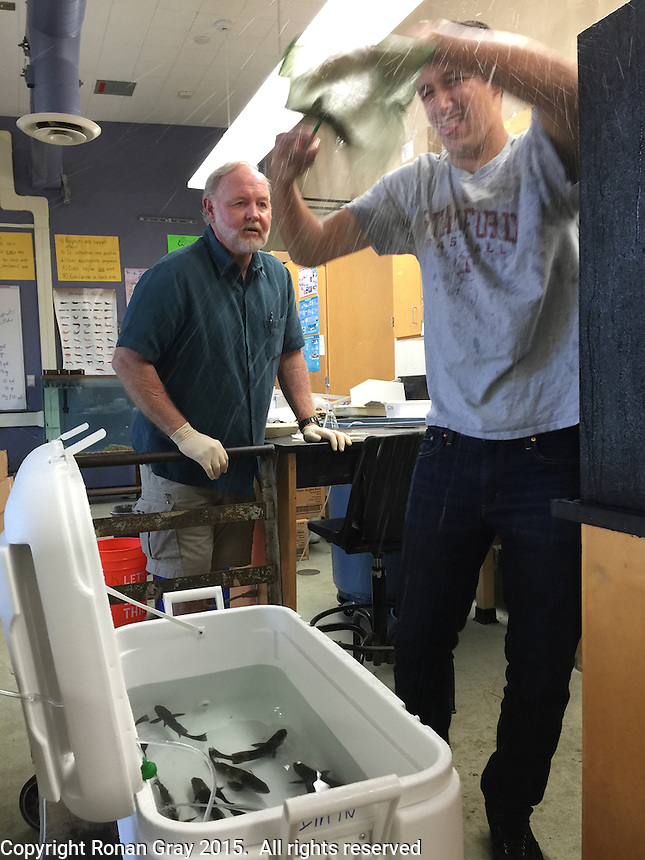 San Diego CA, USA.  7th, December 2015:  Mission Bay High School Biology Teacher, Steve Walters supervises as senior, Matthew Warner transfers juvenile white sea bass which the class had been raising into a cooler from the tank at left.  The fish were on the way to being released in Mission Bay as part of the Seabass in the Classroom Project.  The school has been participating in the project for several years and is one of the first schools in the state to participate in it, which is a collaboration between Hubbs-Sea World Research Institute and the California Department of Fish and Game.