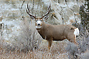 00270-003.08 Mule Deer buck with large antlers is in typical western US habitat. Badlands, Hunt, rut, breed, red cedar, sage.  H6L1