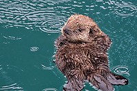 Sea Otter (Enhydra lutris) pup resting in Prince William Sound, Alaska.  Spring