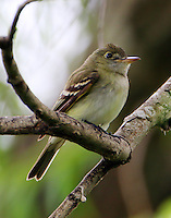 Acadian flycatcher in spring migration