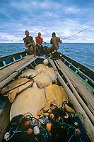 Miskito Indian fishermen sailing their Duritara loaded with Green Turtles, Chelonia mydas, Puerto Cabezas, Nicaragua, Caribbean Sea
