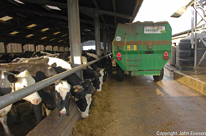 Feeding the pedigree Holstein herd with silage at feed barrier, Staffordshire...Copyright John Eveson 01995 61280.j.r.eveson@btinternet.com