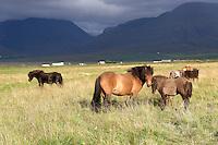 Equus ferus caballus, Island Pferde, Icelandic horses, Nord Island, North Island