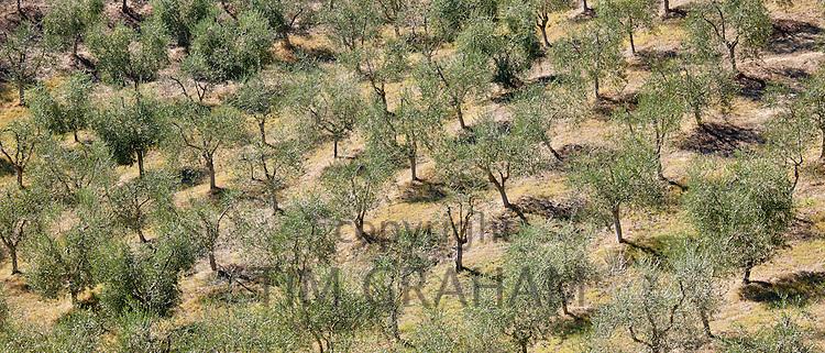 Olive grove near Murlo inTuscany, Italy