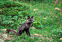 Silver fox, which one color phase of the red fox, rests in the green summer tundra of Denali National Park, Alaska.