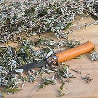 Beifuß, Beifuss wird mit Messer zerkleinert, Kräuterernte, Gewöhnlicher Beifuß, Beifuss, Artemisia vulgaris, Mugwort, common wormwood, L'Armoise commune, Armoise citronnelle