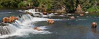 Panorama of brown bears fishing for salmon at Brooks Falls on the Brooks River, Katmai National Park, Alaska.