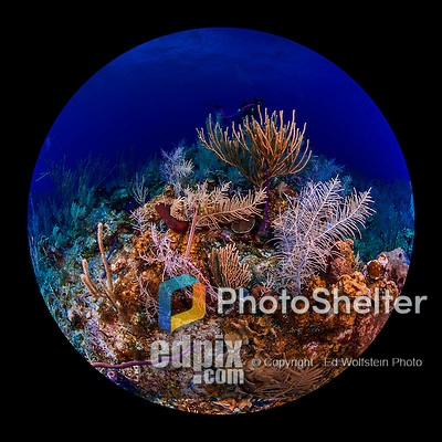 27 July 2015: A Trumpetfish (Aulostomus maculatus) swims near a coral outcropping near Indigo Drop Off, on the North side of Grand Cayman Island. Located in the British West Indies in the Caribbean, the Cayman Islands are renowned for excellent scuba diving, snorkeling, beaches and banking.  Mandatory Credit: Ed Wolfstein Photo *** RAW (NEF) Image File Available ***