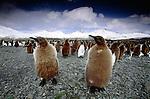 King penguin woollies, South Georgia Island