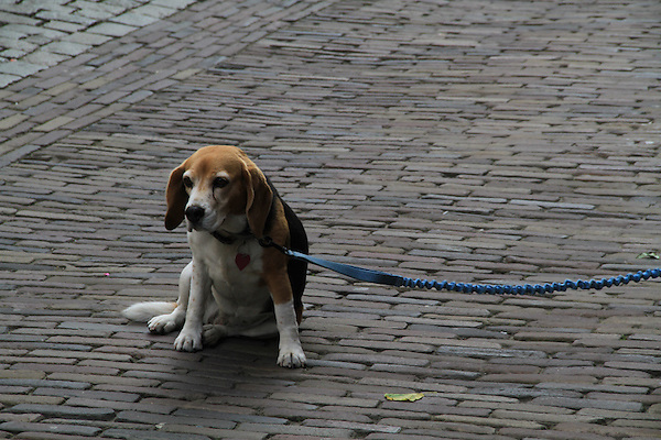 Beagle dog waiting in the Great Market Square (Grote Markt) in Haarlem, Holland, Netherlands.
