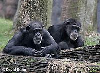 0209-08qq  Pair of Chimpanzees, Pan troglodytes © David Kuhn/Dwight Kuhn Photography