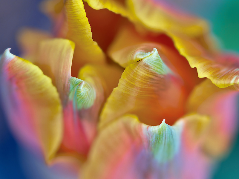 Close up of Prince Irene tulip.