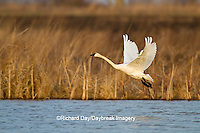 00759-00309 Tundra Swan (Cygnus columbianus) lifting off from wetland at Prairie Ridge State Natural Area, Marion Co., IL