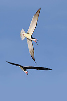 Black Skimmers, mating season, Rockport, Texas
