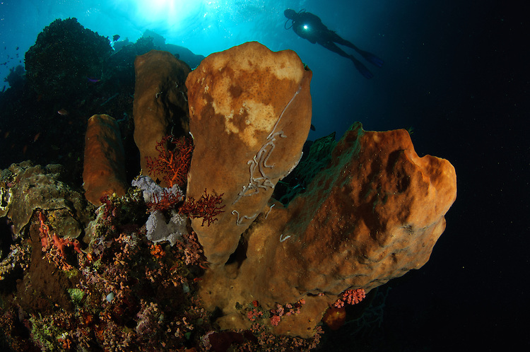 A large sponge with diver in the background, Gorontalo, Sulawesi, Indonesia