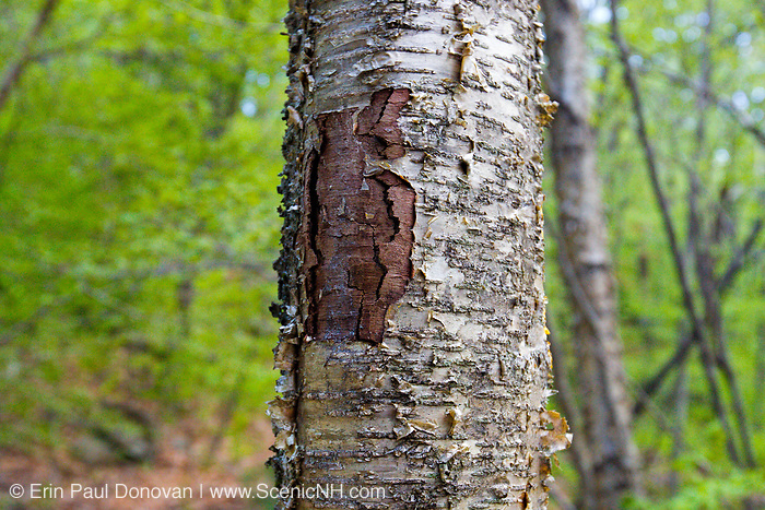 May 2013 - A wound on a yellow birch tree along the Mt Tecumseh Trail in New Hampshire. This is a man made wound and it looks this way because proper protocol was not used to remove a painted trail blaze from the tree. The blaze was painted on the tree in 2011, and then improperly removed (by cutting and peeling the bark off) from the tree in the spring of 2012. See how it looked like before it was removed: http://bit.ly/1Q4W1Pj