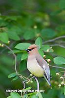 01415-02712 Cedar Waxwing (Bombycilla cedrorum)  in Serviceberry Bush (Amelanchier canadensis), Marion Co., IL