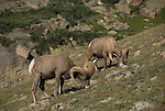 Bighorn sheep or mountain sheep (Ovis canadensis) rams on the alpine tundra  in the Mummy Range, Rocky Mountain National Park, Colorado, USA.