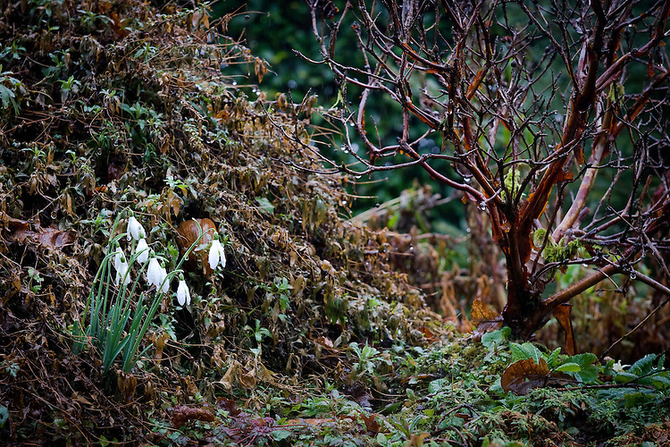 Snowdrops and Paper-bark maple (Acer griseum), Heligan, Cornwall, mid February.