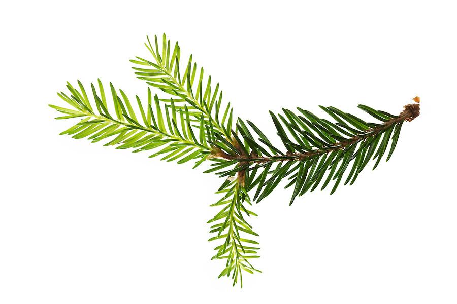 Gewöhnliche Fichte, Rot-Fichte, Rotfichte, Picea abies, Common Spruce, Norway spruce, L'Épicéa, Épicéa commun