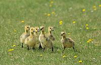 Canada geese (Branta canadensis) chicks in urban park, Winnipeg, Manitoba, Canada
