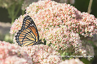 03421-00713 Viceroy (Limenitis archippus) on Autumn Joy Sedum (Sedum spectabile) Marion Co. IL