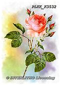 Kris, FLOWERS, BLUMEN, FLORES, paintings+++++,PLKKK3532,#f#, EVERYDAY ,rose,roses