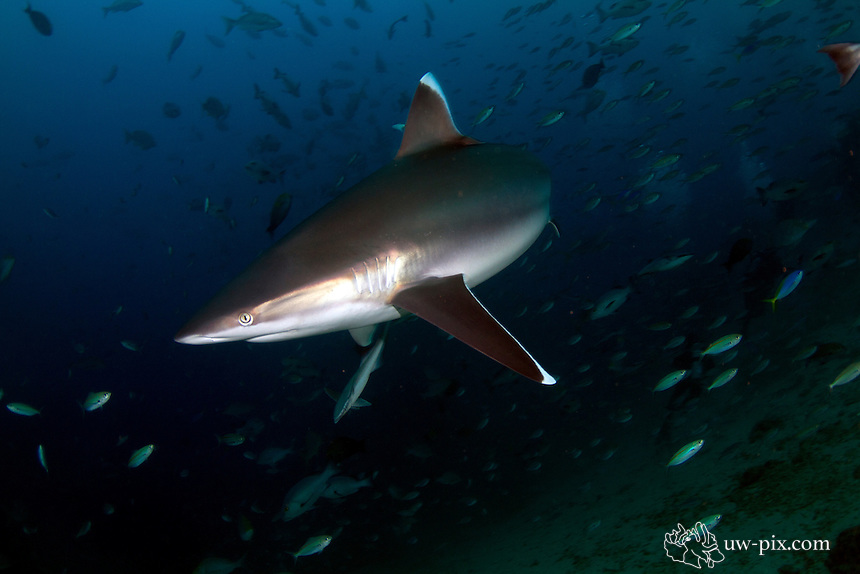 The silvertip shark (Carcharhinus albimarginatus) is a large species of requiem shark, with a fragmented distribution throughout the tropical Indian and Pacific Oceans. This species is often encountered around offshore islands and coral reefs, and has been known to dive to a depth of 800 m. The silvertip shark can be easily identified by the prominent white margins on its fins. It attains a maximum length of 3 m.<br /> An aggressive, powerful apex predator, the silvertip shark feeds on a wide variety of bony fishes, as well as eagle rays, smaller sharks, and cephalopods. This species dominates other requiem sharks of equal size when competing for food, and larger individuals are often heavily scarred from conflicts with others of its species. As with other members of its family, the silvertip shark is viviparous, with females giving birth to one to 11 pups in the summer. Silvertip sharks are regarded as potentially dangerous to humans, as they often approach divers quite closely. This slow-reproducing species is taken by commercial fisheries for its meat, fins, skin, cartilage, and jaws and teeth, which has apparently led to local population declines or extirpations. As a result, the International Union for Conservation of Nature has assessed it as Near Threatened.<br />  The pectoral fins are proportionately longer than in most requiem sharks and falcate (sickle-like) in shape, with pointed tips. The coloration is blue-gray above with a bronze sheen, and white below. There is a subtle white band along the sides and distinctive white tips and borders on all fins. Silvertip sharks can grow up to 3 m long, but typically measure 2.0&ndash;2.5 m in length. The maximum reported weight is 162 kg. Females are larger than males.