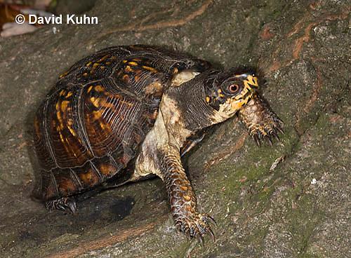 1002-0810  Eastern Box Turtle, Terrapene carolina © David Kuhn/Dwight Kuhn Photography.