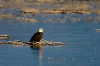 Bald Eagle (Haliaeetus leucocephalus) perched on frozen pond along auto tour route in Lower Klamath National Wildlife Refuge, Oregon-California Border.  February.